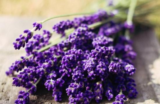 常见的香草品种——薰衣草