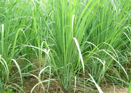 常见的香草品种——香茅