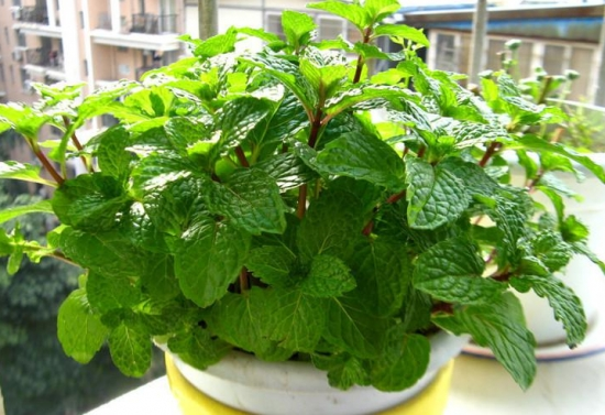 常见的香草品种——薄荷