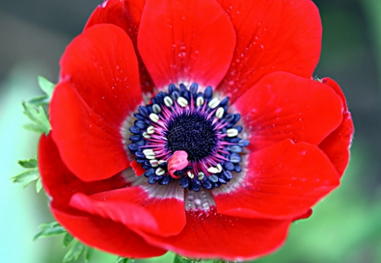 怎样养殖银莲花:种植后浇透水,放置在向阳处