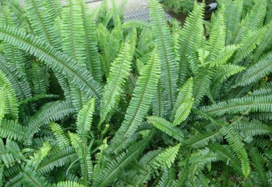 蜈蚣草的养殖方法