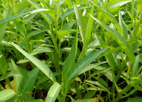 蕹菜的种植方法:北方以旱栽为主,南方旱栽与水植并存