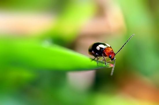 睡莲小萤叶甲虫