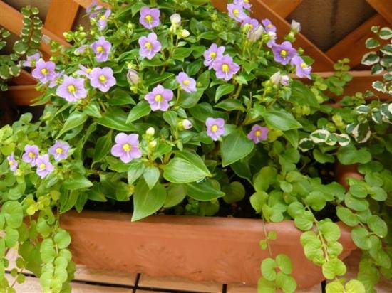 紫芳草盆栽