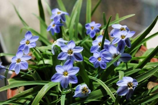蓝花韭的栽种方法