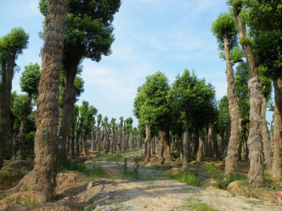 香樟树的发展前景