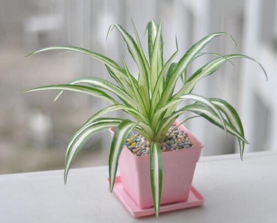 适合室内养的植物——吊兰