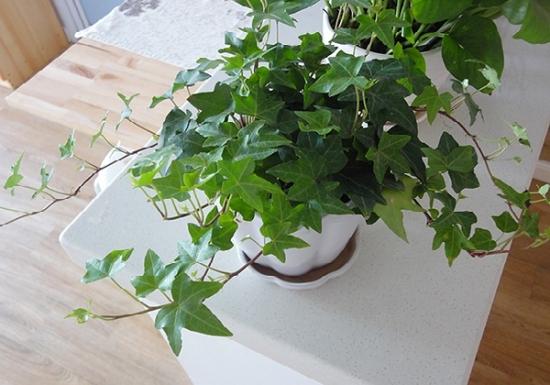 适合室内养的植物——常春藤