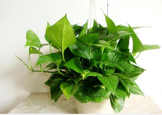 适合室内养的植物——绿萝