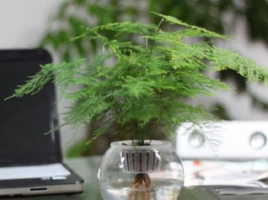适合室内养的植物——文竹