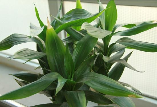 适合室内养的植物——富贵竹