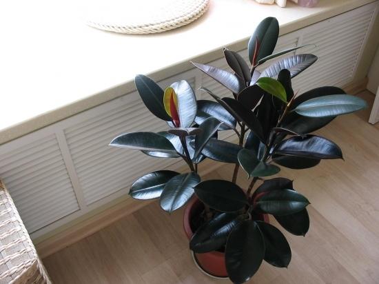 适合室内养的植物——橡皮树
