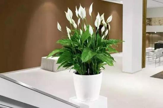 适合室内养的植物——白掌