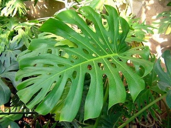 适合室内养的植物——龟背竹
