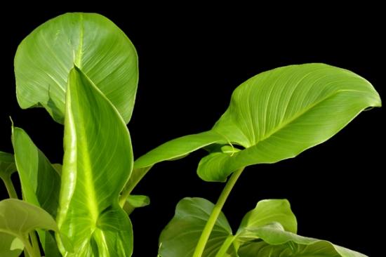 马蹄莲的叶片稍小且圆润