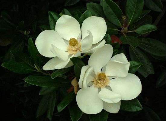 广玉兰和白玉兰的区别:广玉兰是常绿乔木,白玉兰是落叶乔木