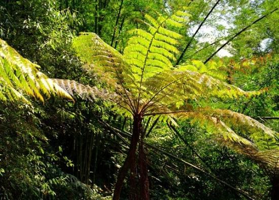 最古老的蕨类植物——桫椤