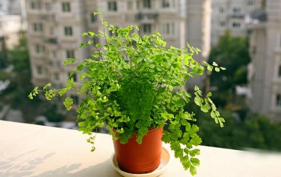吸收甲醛的室内植物——铁线蕨