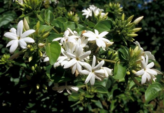 吸收甲醛的室内植物——非洲茉莉