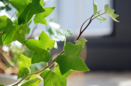 吸收甲醛的室内植物——常春藤