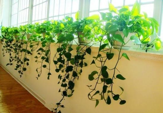 吸收甲醛的室内植物——绿萝