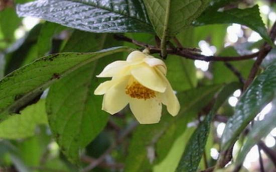 金花茶品种——小果金花茶