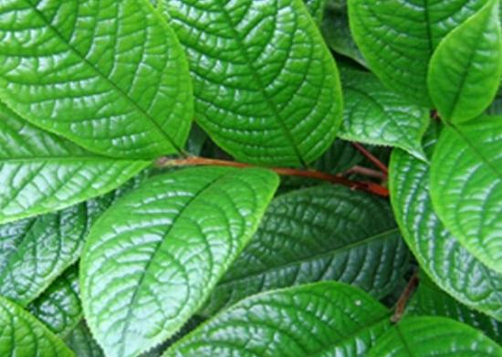 金花茶品种——凹脉金花茶
