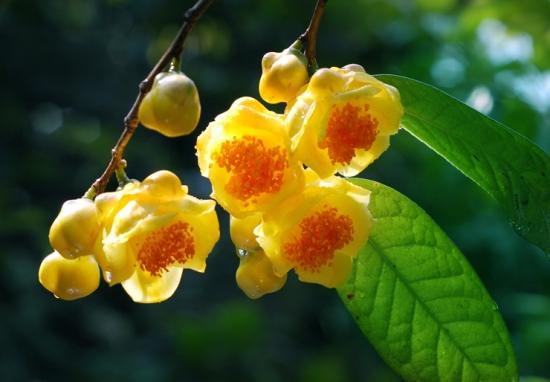 金花茶品种——薄叶金花茶