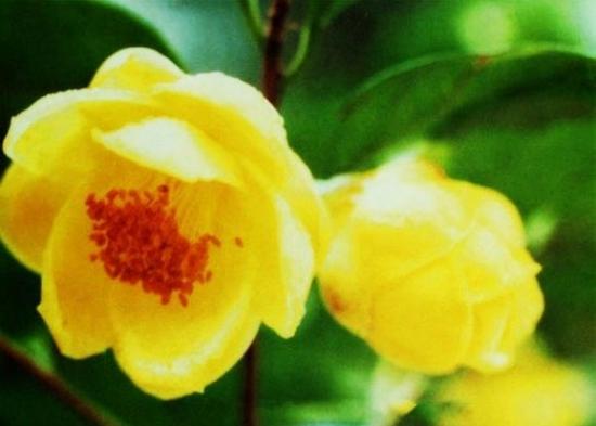 金花茶品种——薄瓣金花茶