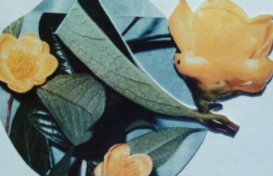 金花茶品种——武鸣金花茶