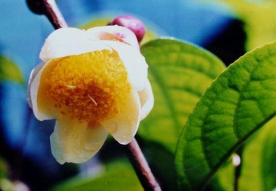 金花茶品种——陇瑞金花茶