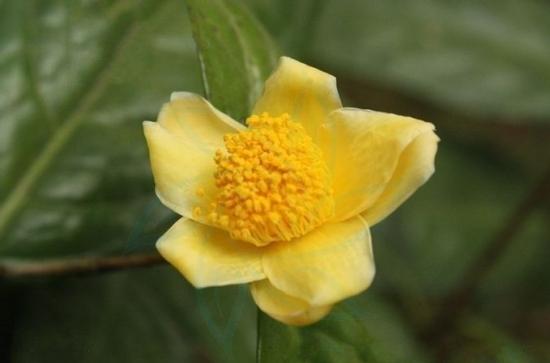 金花茶品种——顶生金花茶