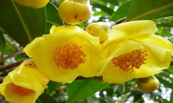 金花茶品种——小花金花茶