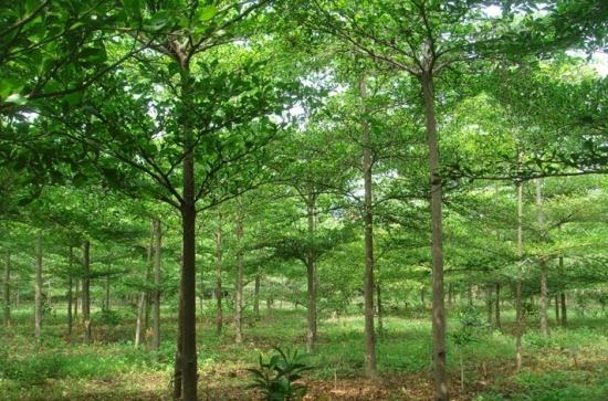 小叶榄仁的养殖方法及注意事项:喜高温多湿的气候