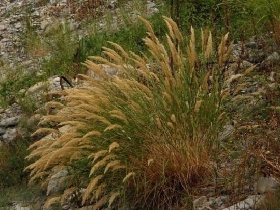 芨芨草的功效与作用:清热利尿,主治尿路感染、尿闭等