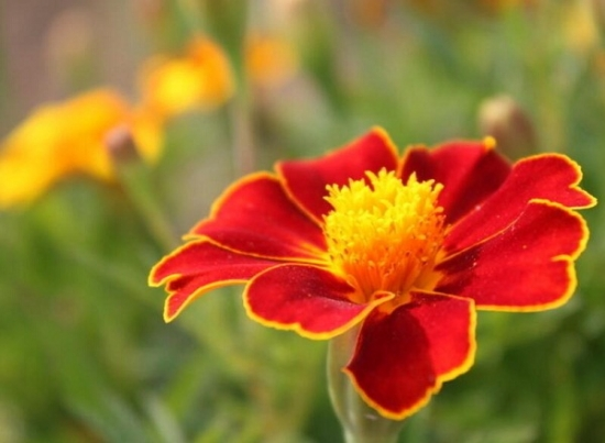 孔雀草的花