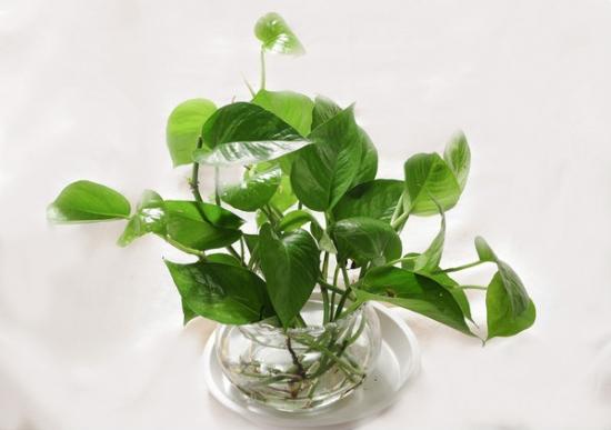 适合水培的植物:水培植物介绍(附图片)