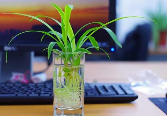 水养富贵竹_适合水培的植物:水培植物介绍(附图片)