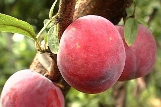 李子的品种——日本早红李