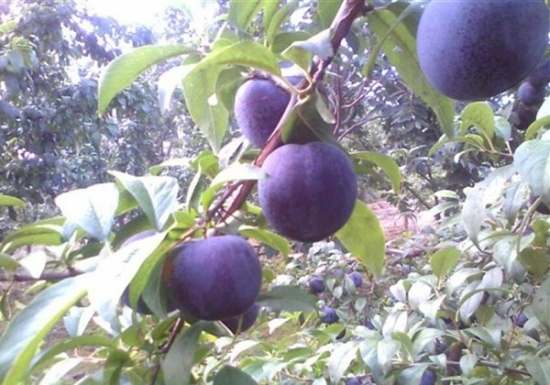 李子的品种——紫琥珀