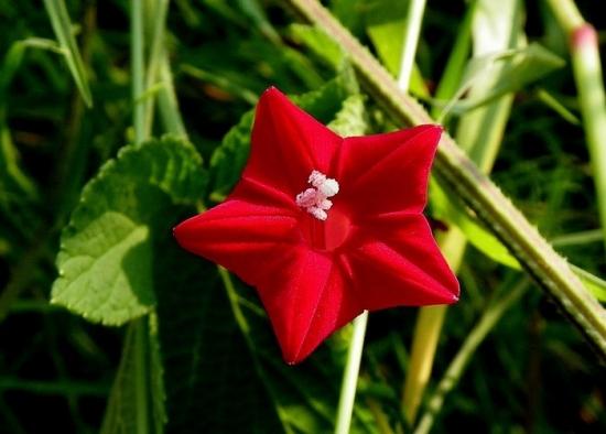 茑萝花的花语