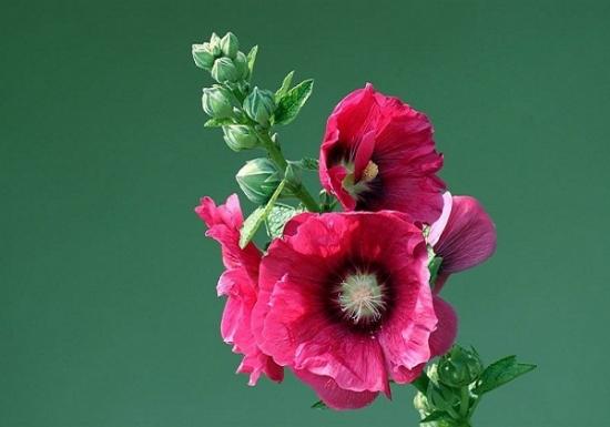 蜀葵什么时候开花