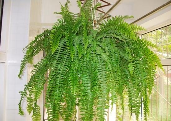 波斯顿肾蕨_波斯顿蕨的养殖方法及注意事项:喜温暖、湿润及半阴环境