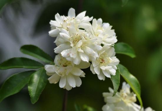 木香花的栽培技术