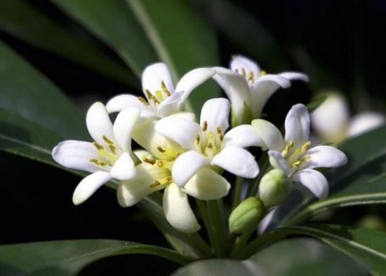 非洲茉莉开花