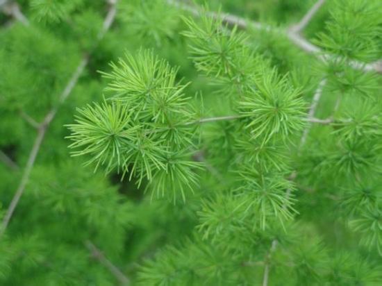 植物红掌怎么养_蓬莱松的图片