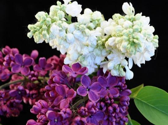 丁香花有多少种颜色:白色、紫色、紫红及蓝紫色