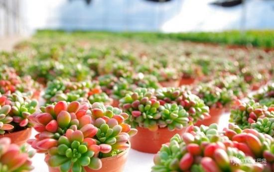 虹之玉的养殖方法