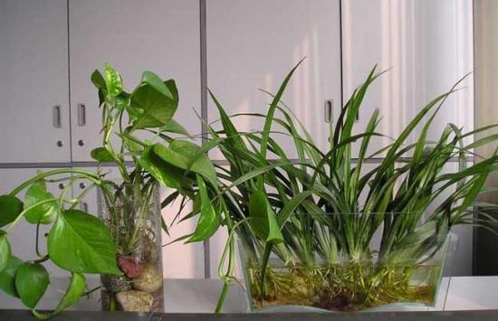 水养植物烂根的原因分析和处理方法