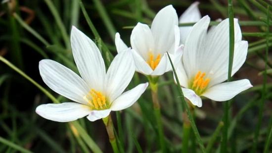 葱莲的花期